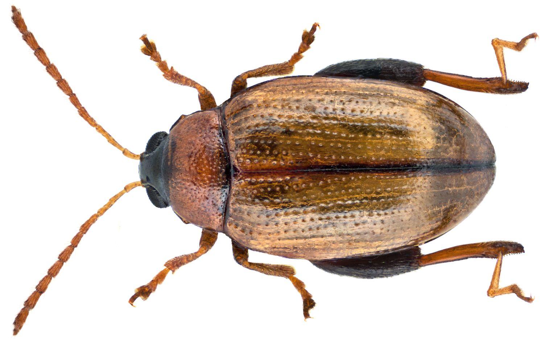 jumping-flea-beetle-2