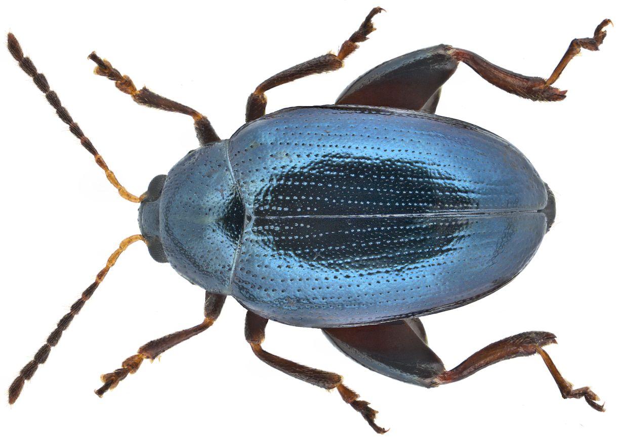 jumping-flea-beetle