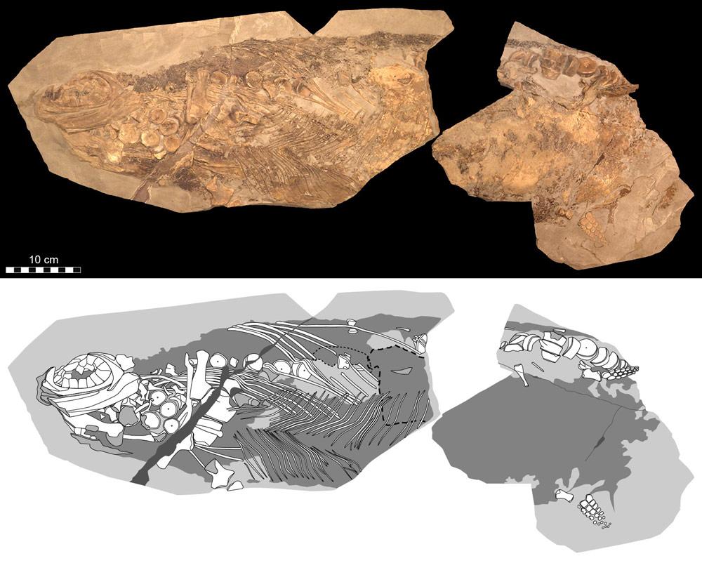 Ichthyosaur-fossil