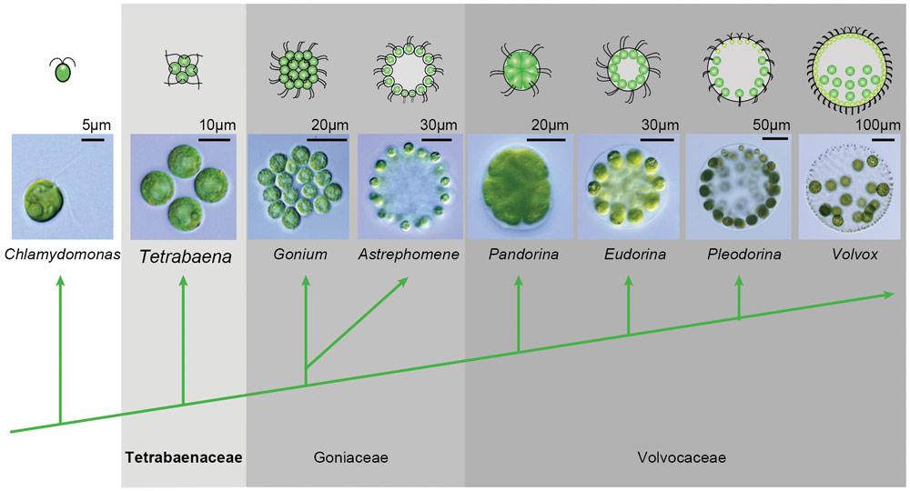 Chlamydomonas-to-Volvox