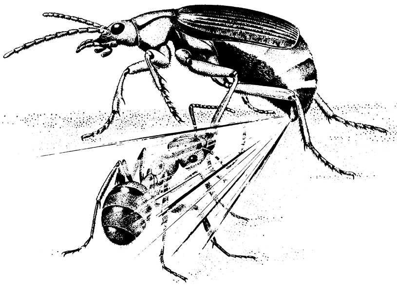 Bombardier-beetle-spraying-an-ant-attacker