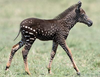 Polka-dotted-zebra