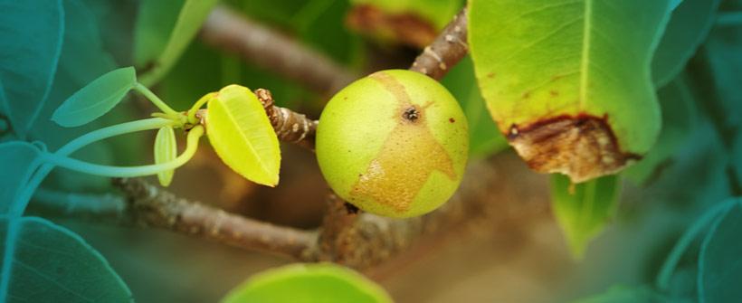 Poisonous-Manchineel