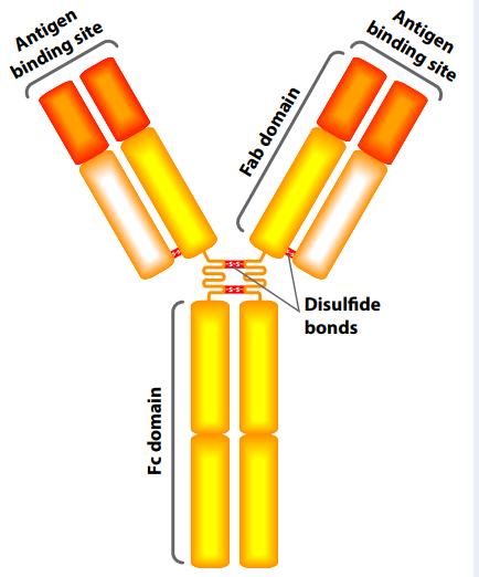 antibody-molecule
