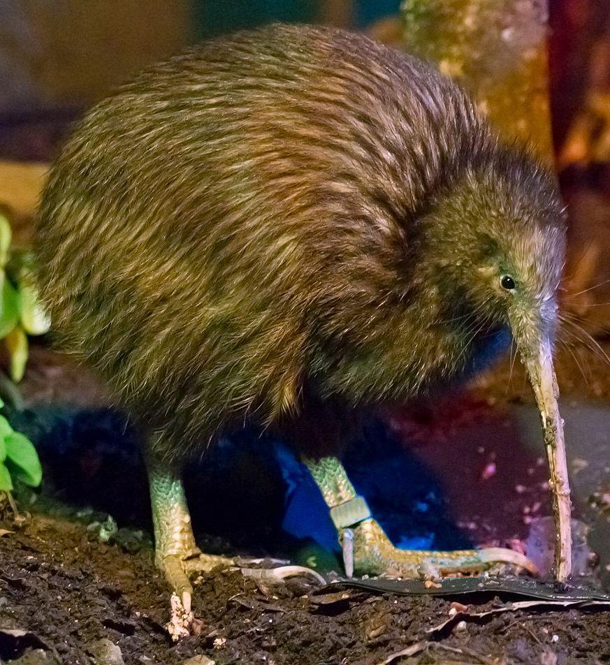 kiwi-wikipedia