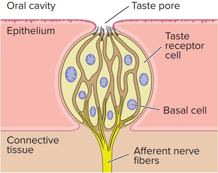 oral-cavity-taste-pore