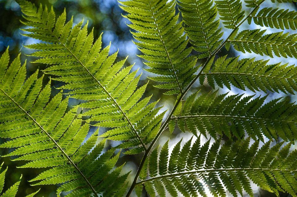 fern-leaves