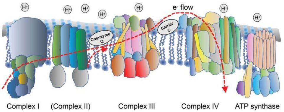 fig-3-complex-II-found-in-ecoli-and-other-organisms